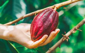 Giống cacao Trinitario